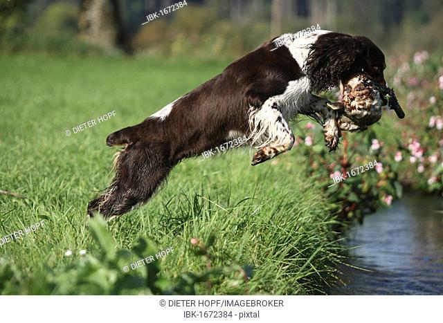 Hound, English Springer Spaniel retrieving a mallard drake