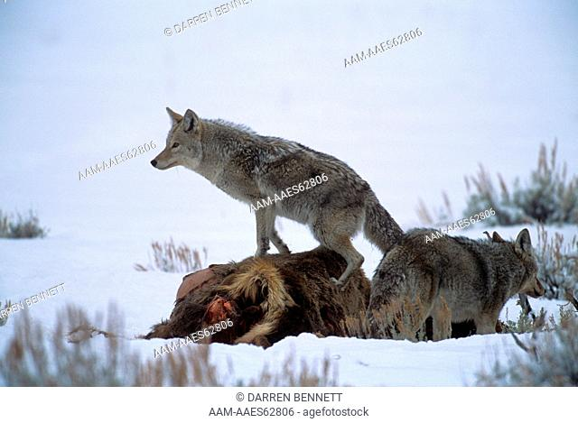 Coyote Pair feeding on Elk Carcass, Yellowstone NP, WY (Canis latrans)
