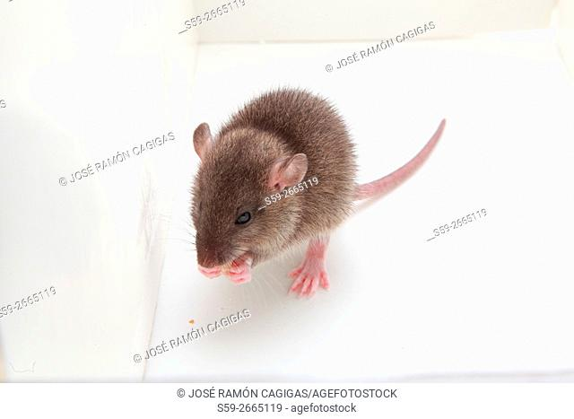 mouse, rodent