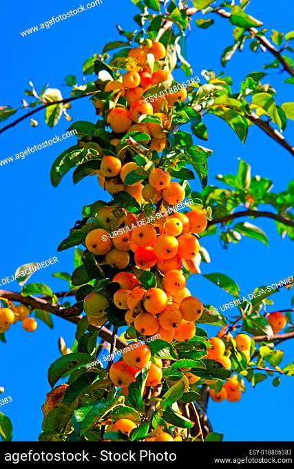 Zieräpfel (Malus Golden Hornet)