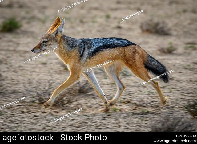 Side-Striped Jackal (Canis adustus) in Kgalagadi, South Africa