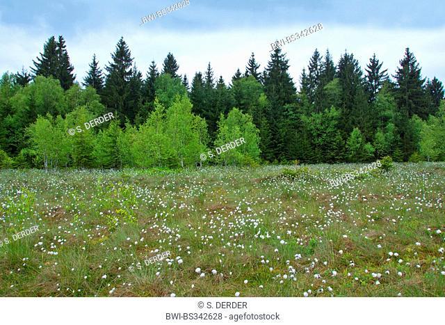 highmoor landscape near Rochhusfeld with cotton-grass, Germany, Bavaria, Oberbayern, Upper Bavaria, Bad Kohlgrub