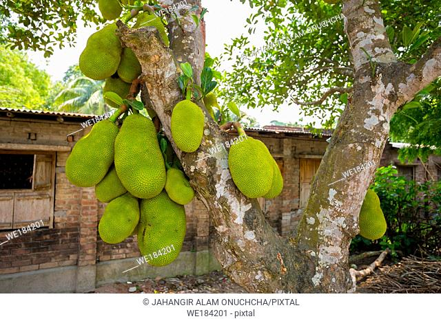 A large scale of jackfruits hanging on the tree. Jackfruit is the national fruit of Bangladesh. It is a seasonal summer time fruit