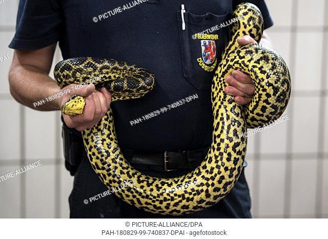 29.08.2018, North Rhine-Westphalia, Düsseldorf: Sebastian Schreiner, reptile expert of the Düsseldorf Fire Brigade, holds a captured constrictor snake from Lake...