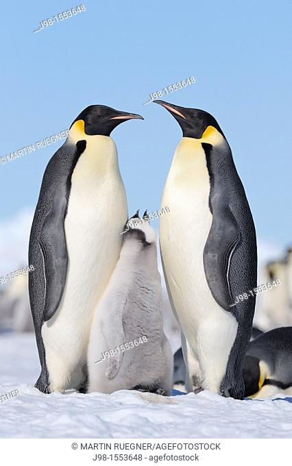 Emperor Penguin Aptenodytes forsteri adult and chick  Snow Hill Island, Antarctic Peninsula, Antarctica
