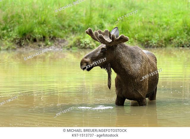 Moose, Alces alces, Summer, Europe