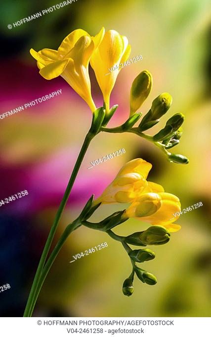 Close up of a yellow freesia