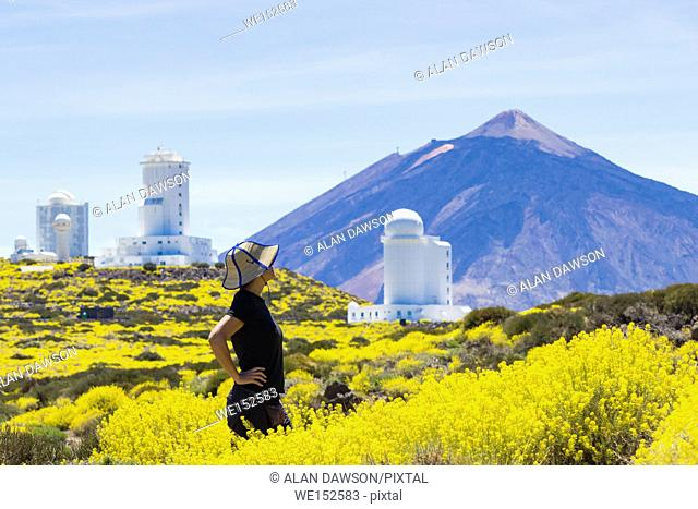 Tenerife, Canary Islands, Spain, May 2017. A sea of yellow as a female hiker walks on a footpath through Hierba Pajonera ( Descurainia bourgaeana )