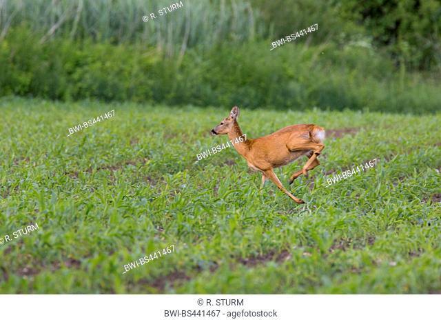 roe deer (Capreolus capreolus), escaping over a mayze field, Germany, Bavaria