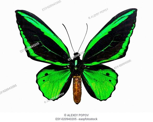 Butterfly Ornithoptera priamus
