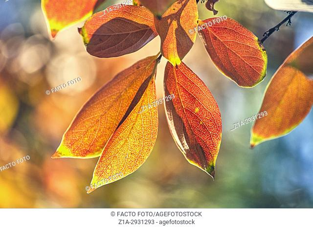 Diospyros kaki sylvestris in autumn at The Royal Botanical Garden. Madrid. Community of Madrid. Spain