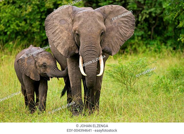 African elephant mother and child