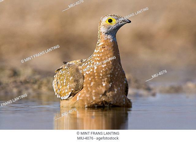 Namaqua sandgrouse female, Pterocles namaqua, soaking belly feathers at waterhole, Etosha National Park, Namibia