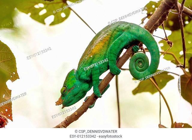 Beautiful green chameleon