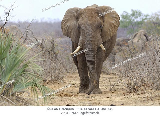 African bush elephant (Loxodonta africana), adult elephant bull walking along a path, ears open, Kruger National Park, South Africa, Africa