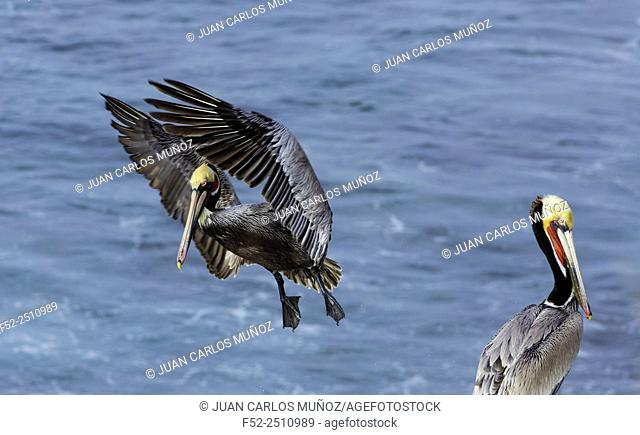 Brown pelican (Pelecanus occidentalis), La Jolla, San Diego, California, Usa, America
