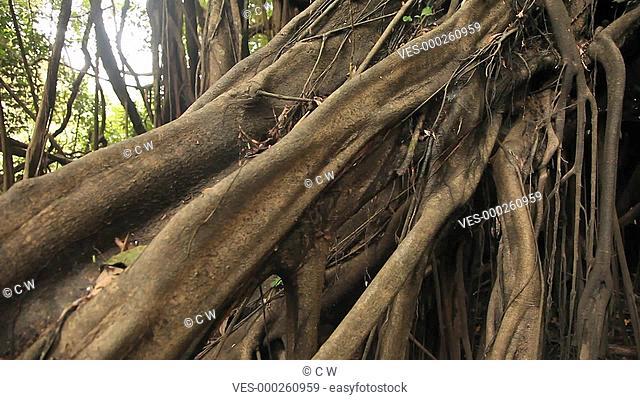 Baum im Regenwald, S?damerika