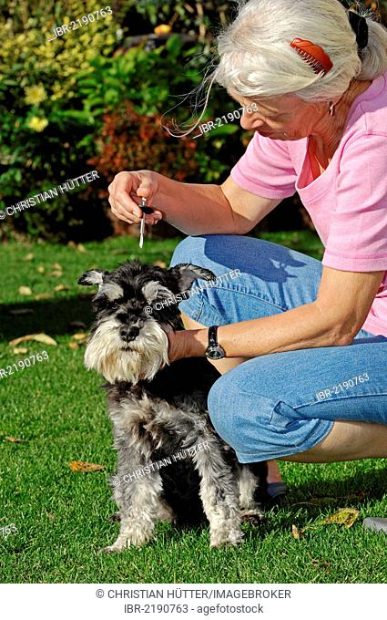 Woman removing a European Castor Bean Tick (Ixodes ricinus) from a Miniature Schnauzer (Canis lupus familiaris), black and silver, Bergkamen