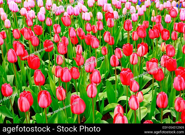 Beautiful red tulips in the spring time.Flowers background