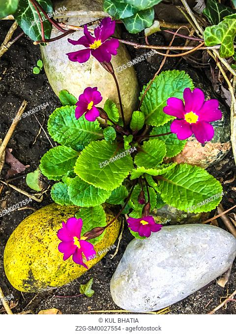 A Primrose blooms in a mini rock garden, marking an early spring in Ontario, Canada