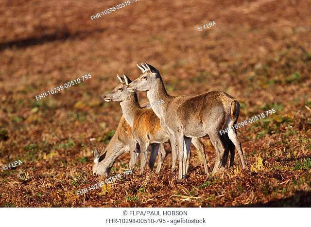 Red Deer Cervus elaphus three hinds, two alert and one feeding, Bradgate Park, Leicestershire, England, autumn
