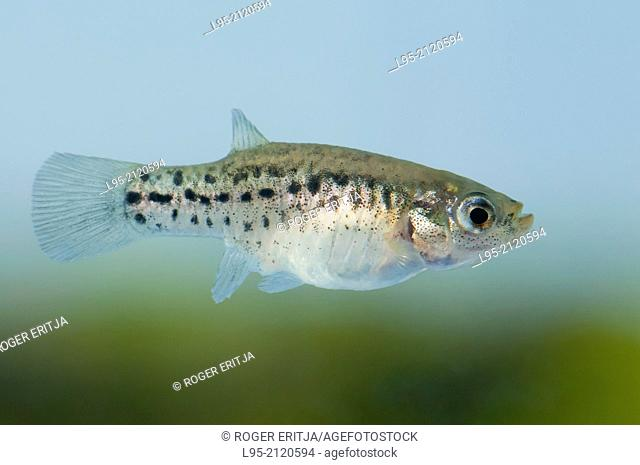 Female of Aphanius iberus, a mosquito larvivorous fish species presently endangered in the Mediterranean since the introduction of the American mosquitofish...