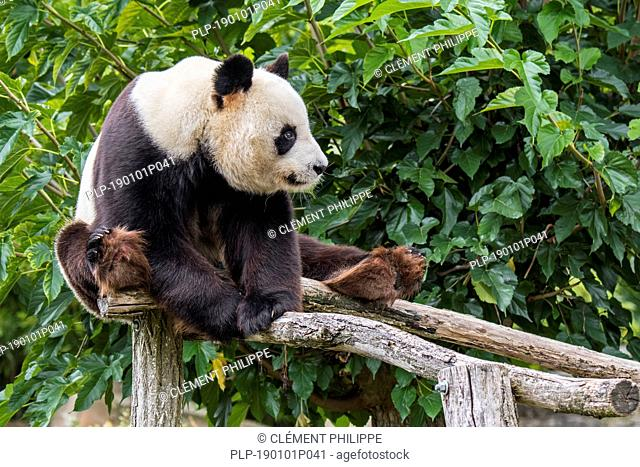 Giant panda (Ailuropoda melanoleuca) posing on wooden platform in zoo / animal park / zoological garden