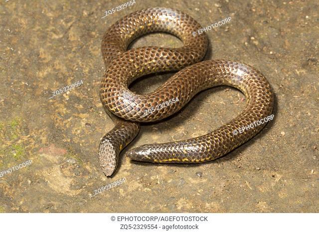 Shieldtdail snake Uropeltis sp. Family: Uropeltidae, Satara, Maharashtra, India