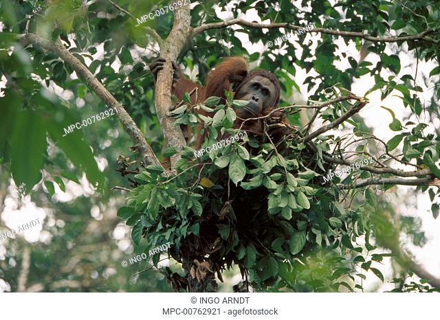 Orangutan (Pongo pygmaeus), subadult male in nest, Tanjung Puting National Park, Borneo