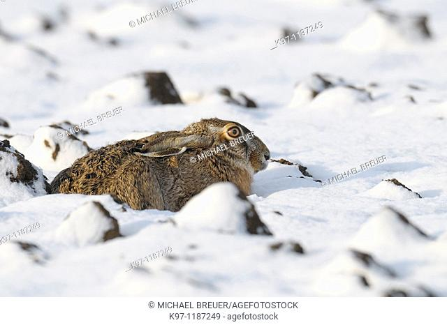 European brown hare (Lepus europaeus) in winter, Germany