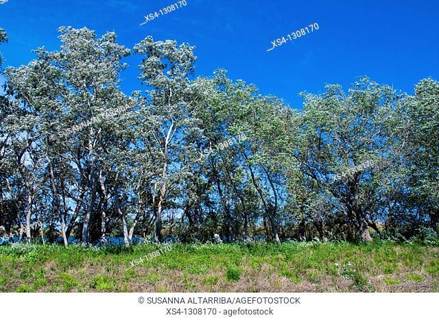 White Poplar (Populus alba) grove, Ebro River Delta, Tarragona Province, Catalonia, Spain