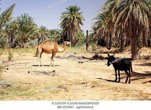 Date trees (Phoenix) in an oasis near Ksar Ghilane, Sahara, Tunisia, Maghreb region, North Africa, Africa