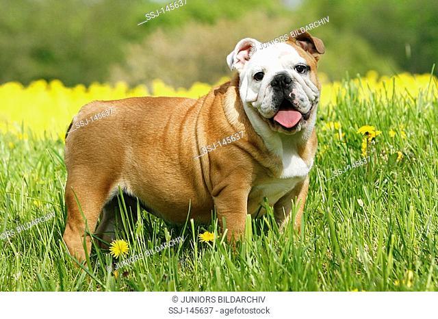 English Bulldog - standing in the meadow