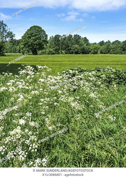 Cow Parsley in a Hedgerow at Hay a Park near Knaresborough North Yorkshire England