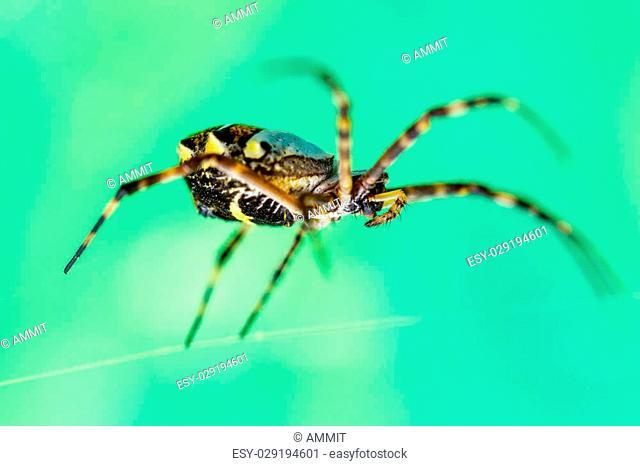 Female Argiope Anasuja Writing Spider Shot From Eye Level On Green Background
