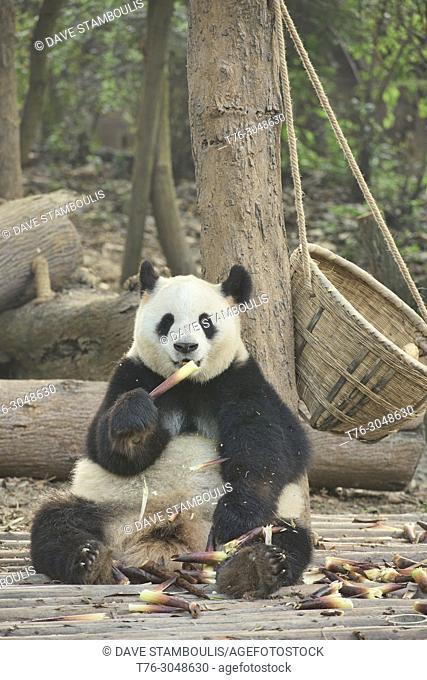 Giant panda eating bamboo at the Chengdu Research Base of Giant Panda Breeding in Chengdu, Sichuan, China