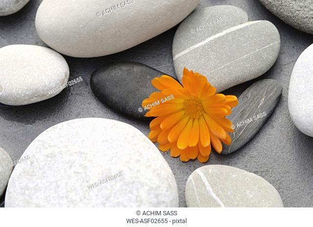 Calendula blossom between stones