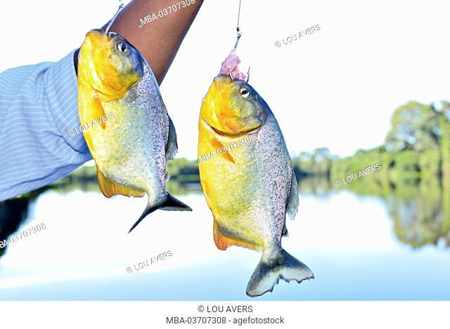 Brazil, Pantanal, freshly caught piranhas, Pygocentrus nattereri