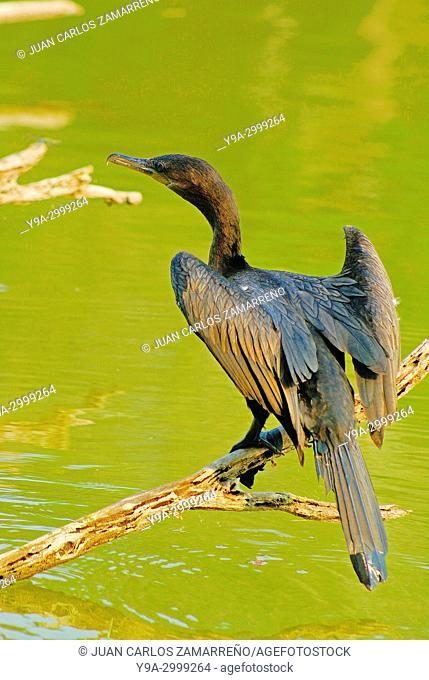 Phalacrocorax brasilianus, Neotropic Cormorant, Cocha Salvador, lagoon, Manu National Park, World Hertage, Madre de Dios department, Amazonas, southern Peru