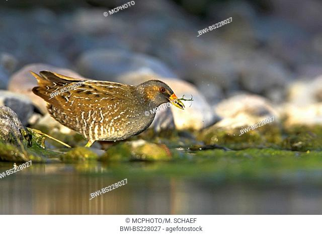 spotted crake (Porzana porzana), standing in quiet water looking for food, Greece, Lesbos