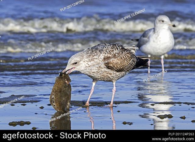 European herring gull (Larus argentatus) juvenile feeding on dead European plaice (Pleuronectes platessa), flatfish / fish washed ashore on beach