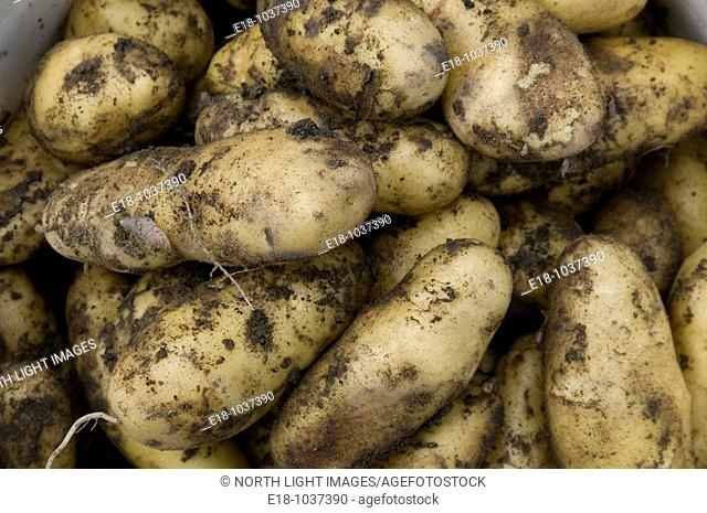 Canada, BC, Saltspring Island Organic potatoes, just dug out of the ground