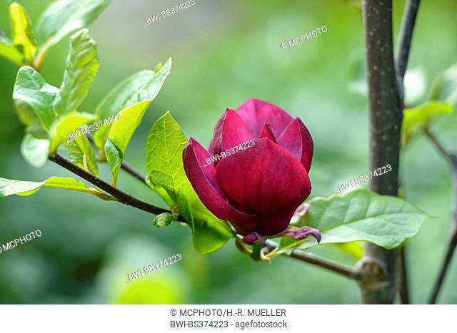 saucer magnolia (Magnolia soulangiana 'Genie', Magnolia soulangiana Genie, Magnolia x soulangiana, Magnolia x soulangeana, Magnolia soulangeana), cultivar Genie