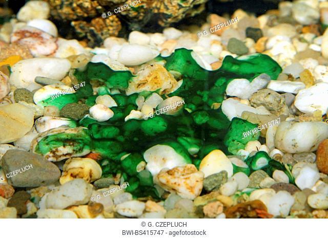 cyanobacteria on aquarium gravel