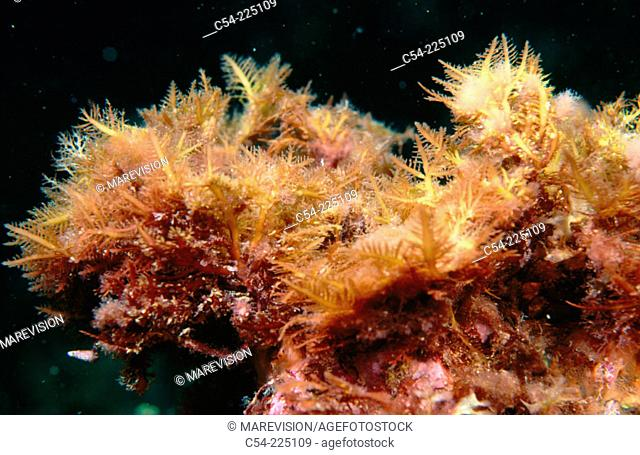 Red Seaweeds (Gelidium latifolium)