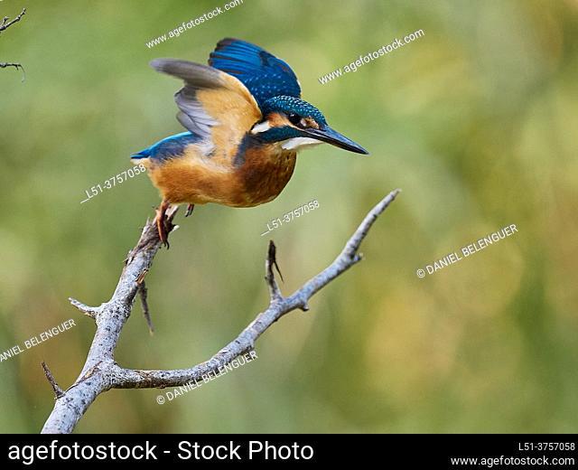 Kingfisher (Alcedo Atthis) taking off, Villahermosa river, Ludiente, Castellón, Spain