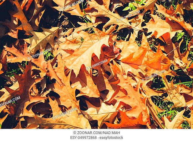 foliage on meadow, oak leaves closeup