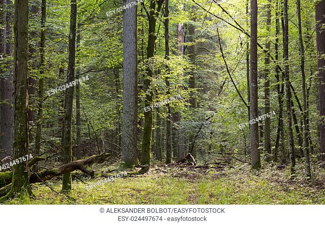 Narrow path crossing mixed stand of Bialowieza Forest, Poland, Europe