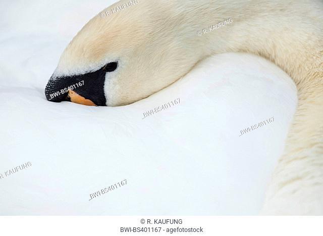 mute swan (Cygnus olor), head in its plumage, Germany