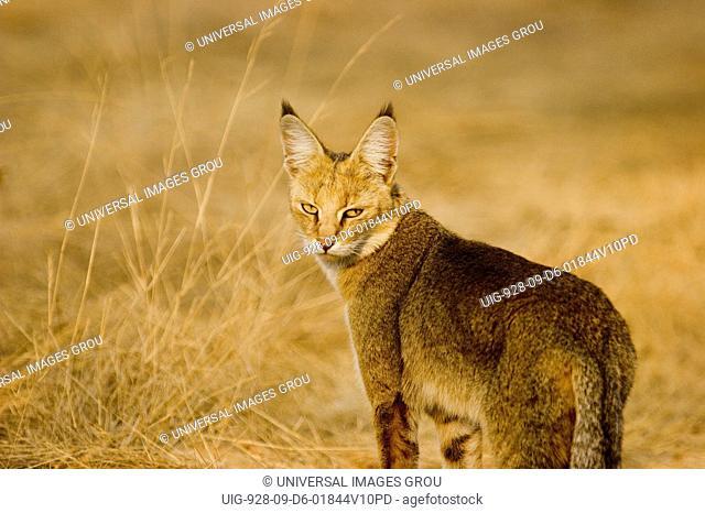 Jungle Cat Felis Chaus, Ranthambore National Park, Rajasthan, India
